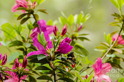 Photograph - Azaleas And Golden Banded Skipper Butterfly by Donna Brown