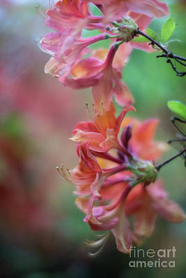 Azaleas Cluster Of Flowers Art Print