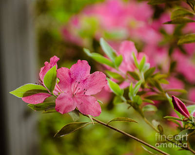 Photograph - Azaleas  by Donna Brown