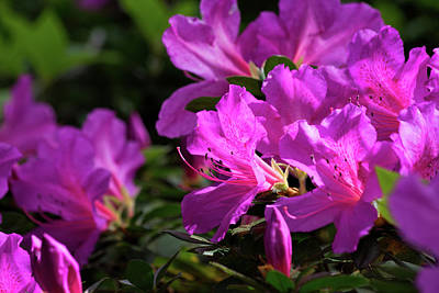 Photograph - Azaleas I by Ed Waldrop