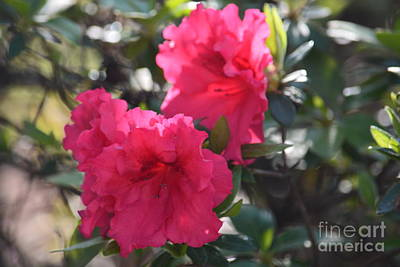 Photograph - Azaleas In The Wind by Maria Urso