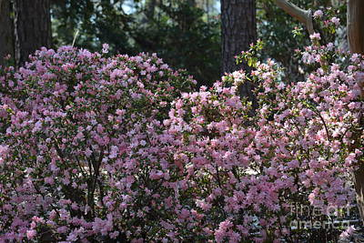 Photograph - Azaleas In The Woodlands by Maria Urso