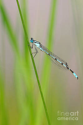 Nikki Vig Royalty-Free and Rights-Managed Images - Azure Damselfly  by Nikki Vig