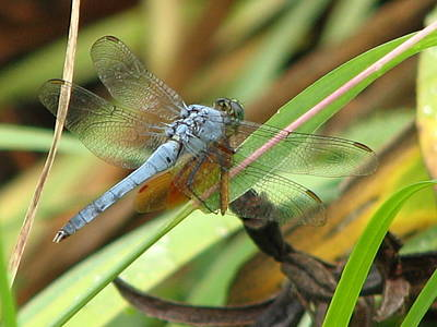 Photograph - Azure Dragonfly 1 by David Dunham