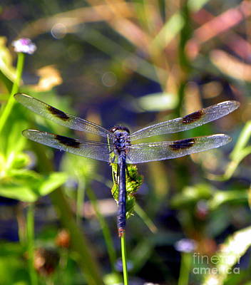 Photograph - Azure Dragonfly by Terri Mills
