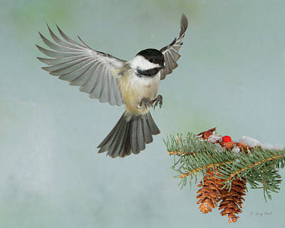 Photograph - B C Chickadee by Gerry Sibell