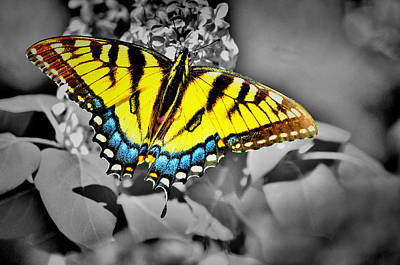 Photograph - B N W Swallowtail by Emily Stauring