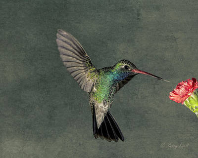 Photograph - B B Hummingbird by Gerry Sibell