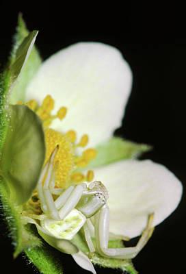 Photograph - Crab Spider by Bernard Lynch