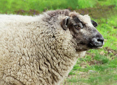 Photograph - Baaa by Sue Collura