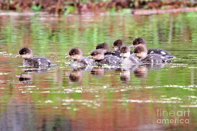 Photograph - Babies Hooded Merganser by Marle Nopardi