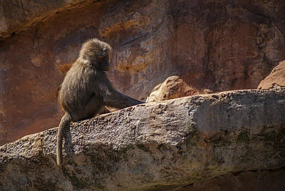 Photograph - Baboon Alone by Stewart Scott