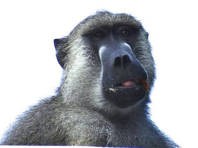 Baboon Close Up Art Print