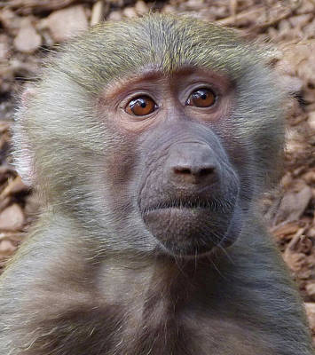 Photograph - Baboon Eyes by Margaret Saheed