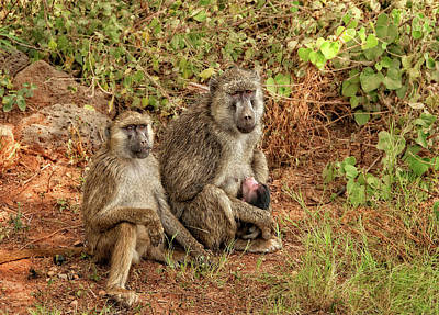 Photograph - Baboon Family In Kenya by Mitchell R Grosky