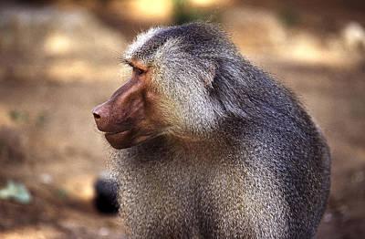 Photograph - Baboon by Isaac Silman