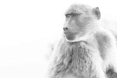 Photograph - Baboon by Jose Vazquez