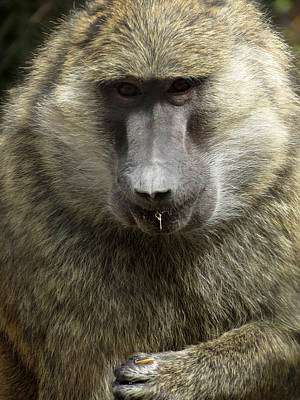 Photograph - Baboon by Laurel Powell