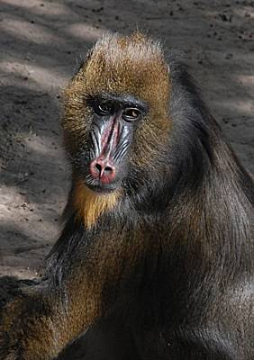 Photograph - Baboon Portrait by Kenny Glover