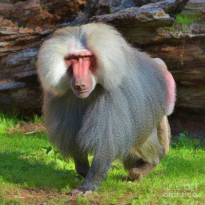 Photograph - Baboon Stalking by Kathy Baccari