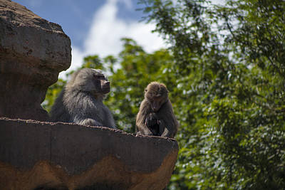Photograph - Baboon Unity II by Stewart Scott