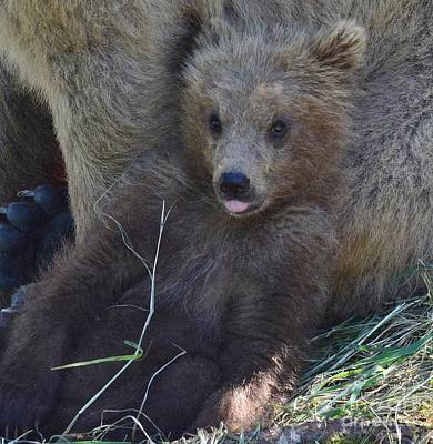 Photograph - Baby Alaskan Grizzly Bear by Patricia Twardzik