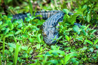 Photograph - Baby Alligator by Daniel Murphy