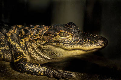 Photograph - Baby Alligator by Jean Noren
