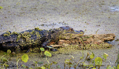 Photograph - Baby Alligator by Les Greenwood