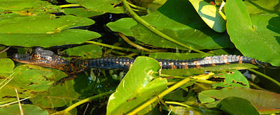 Photograph - Baby Alligator Pano by David Lee Thompson