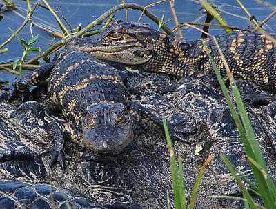 Photograph - Baby Alligators  10 by Chris Mercer