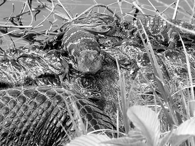 Photograph - Baby Alligators 8 In Black And White by Chris Mercer