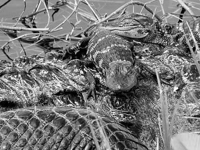 Photograph - Baby Alligators 9 In Black And White by Chris Mercer