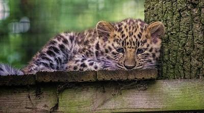 Felidae Photograph - Baby Amur Leopard by Martin Newman