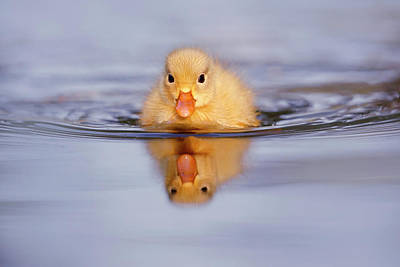 Duckling Photograph - Baby Animals Series - Yellow Duckling by Roeselien Raimond