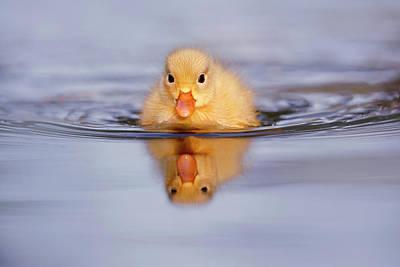 Bird Bath Photograph - Baby Animals Series - Yellow Duckling by Roeselien Raimond