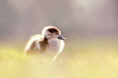 Baby Geese Wall Art - Photograph - Baby Animals Series - Zen Gosling by Roeselien Raimond