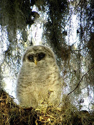 Barred Owl Photograph - Baby Barred Owl 002 by Chris Mercer