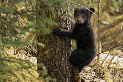 Photograph - Baby Bear Climbs A Tree by Loriannah Hespe