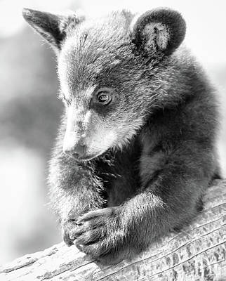 Photograph - Baby Bear Cub by Athena Mckinzie