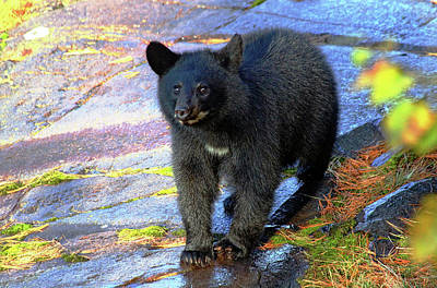Photograph - Baby Bear by Debbie Oppermann