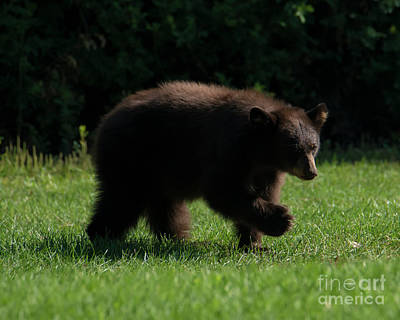 Photograph - Baby Bear by Mike Dawson