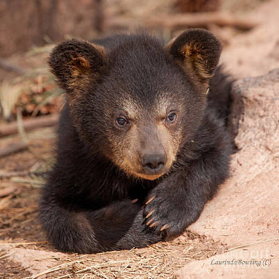 Photograph - Baby Bear Portrait by Laurinda Bowling