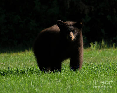 Black Bear Photograph - Baby Bear Stare by Mike Dawson