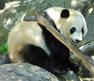 Photograph - Baby Bei Bei The Panda by Emmy Marie Vickers