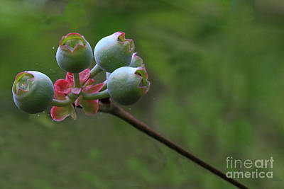 Photograph - Baby Berries by Kim Henderson