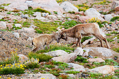 Photograph - Baby Bighorn Sheep Playing On Mount Evans by Steve Krull