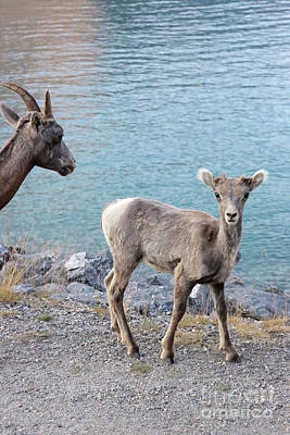 Photograph - Baby Bighorn Sheep With Mom by Carol Groenen