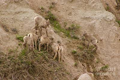 Photograph - Baby Bighorns by Sean Griffin
