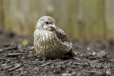 Photograph - Baby Bird by Denise Pohl